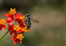 Leaf Cutter Black and White striped bee pollinates Milkweed, Macro. Macro of Leaf cutter Bee pollinating Red and Yellow Milkweed. Blurred background, Landscape royalty free stock photo
