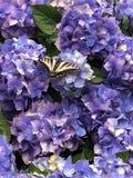 Swallowtail Butterfly on Hydrangea Flowers. Swallowtail butterfly resting on the flowers of a blue hydrangea bush. Several large hydrangea flowers stock photography