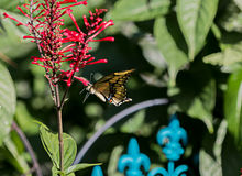 Swallowtail Butterfly indulges in Red Firespike Royalty Free Stock Images