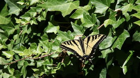 Swallowtail butterfly on ivy stock video