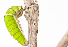 Swallowtail butterfly larva closeup, late instar Royalty Free Stock Image
