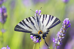 Swallowtail Butterfly. Swallowtail Butterfly on lavender flower on a flowering field stock images