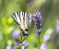 Swallowtail Butterfly. Swallowtail Butterfly on lavender flower on a flowering field stock image