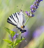 Swallowtail Butterfly. Swallowtail Butterfly on lavender flower on a flowering field royalty free stock photos