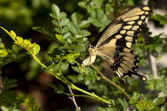 Swallowtail butterfly laying eggs on bush stock photo