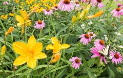 Swallowtail butterfly, lilies and Purple Coneflowers. Yellow lilys and Purple Coneflowers blooming Echinacea purpurea, Eastern Tiger Swallowtail butterfly royalty free stock image