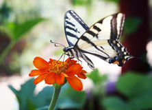 Swallowtail Butterfly on a lone flower. Stock Image