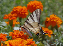 Swallowtail butterfly on marigold Royalty Free Stock Photography