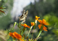 Swallowtail butterfly with marigold flower Royalty Free Stock Photo