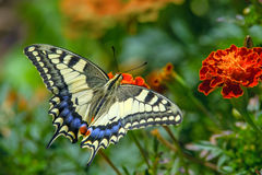 Swallowtail butterfly Royalty Free Stock Photos