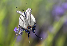 Swallowtail Butterfly. Swallowtail Butterfly on a meadow flaps its wings stock photography