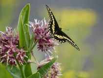 Swallowtail Butterfly on Milkweed royalty free stock image