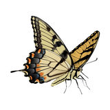 Swallowtail Butterfly - Papilio glaucus. Photo-realistic hand drawn vector illustration of an Eastern Tiger Swallowtail Butterfly, on white background Royalty Free Stock Photos