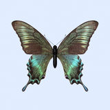 Swallowtail Butterfly - Papilio Maackii Stock Photography
