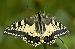 Swallowtail Butterfly Papilio machaon Royalty Free Stock Photo