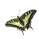 Swallowtail butterfly (Papilio machaon) Stock Images
