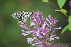 Swallowtail butterfly (Papilio machaon) Stock Photography