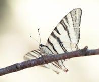 Swallowtail butterfly (Papilio machaon) Stock Photos