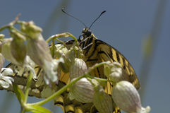 Swallowtail Butterfly. Papilio machaon Feeding on Campion Flower stock image