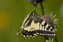 Swallowtail Butterfly. Papilio machaon feeding on Thistle royalty free stock photos