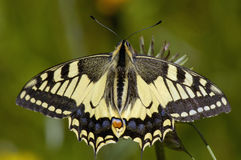 Swallowtail Butterfly. Papilio machaon Feeding on Thistle royalty free stock photography
