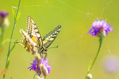 Swallowtail butterfly, Papilio machaon Royalty Free Stock Photos