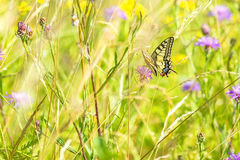 Swallowtail butterfly, Papilio machaon Royalty Free Stock Photography