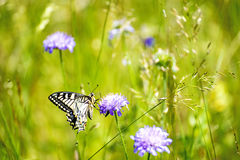 Swallowtail butterfly, Papilio machaon Stock Photography