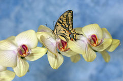 Swallowtail butterfly (papilio machaon) on a flower orchid Royalty Free Stock Photo