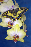 Swallowtail butterfly (papilio machaon) on a flower orchid Stock Photo