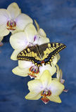 Swallowtail butterfly (papilio machaon) on orchid Stock Photo