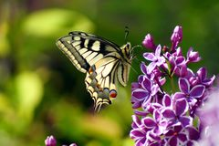 Swallowtail Butterfly Papilio machaon on purple lilac bush blooming, Syringa vulgaris Sensation royalty free stock image