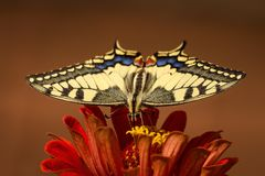 Swallowtail butterfly ( Papilio machaon ) Stock Images