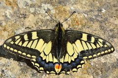 Swallowtail butterfly (Papilio machaon) at rest on the ground Stock Photography