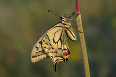 Swallowtail butterfly (Papilio machaon) Royalty Free Stock Photography