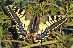 Swallowtail Butterfly. Papilio machaon At rest wings open stock images