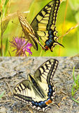 Swallowtail butterfly, Papilio machaon Royalty Free Stock Photo
