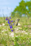 Swallowtail butterfly, Papilio machaon Stock Image