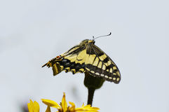 Swallowtail Butterfly. Papilio machaon Wings open on flower stock images