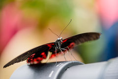 Swallowtail Butterfly (Papilio rumanzovia, Schwalbenschwanz) sitting on a camera lens.  royalty free stock images
