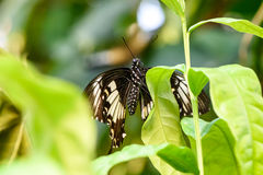 Swallowtail Butterfly (Papilio rumanzovia, Schwalbenschwanz) sitting on a green leaf Royalty Free Stock Images