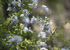 Swallowtail Butterfly & Phlox Flowers Royalty Free Stock Photo