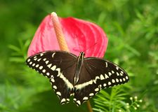 Swallowtail Butterfly on Pink Flower. Swallowtail Butterfly with wide open wings standing on the Pink Flower Royalty Free Stock Images