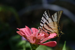 Swallowtail butterfly on pink zinnia Stock Photo