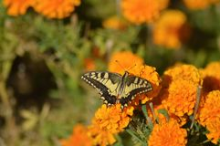 Swallowtail butterfly posing on a flower bed Royalty Free Stock Photos