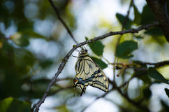 Swallowtail butterfly in profile on a branch of an Apple tree Royalty Free Stock Images