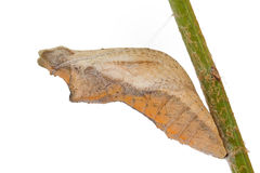 Swallowtail butterfly Pupa Stock Photography