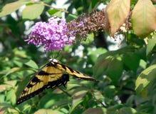 Swallowtail butterfly on purple butterfly bush Stock Photo