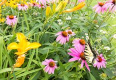 Swallowtail butterfly and Purple Coneflowers. Yellow lilys and Purple Coneflowers blooming Echinacea purpurea, Eastern Tiger Swallowtail butterfly, Papilio stock images