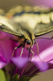 Swallowtail butterfly in a purple daisy field Royalty Free Stock Images